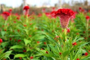 Cách trồng và chăm sóc hoa Mào gà