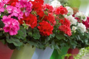 Cách trồng và chăm sóc hoa Phong lữ thảo