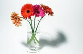 Cách trồng và chăm sóc hoa Đồng tiền cho màu rực rỡ