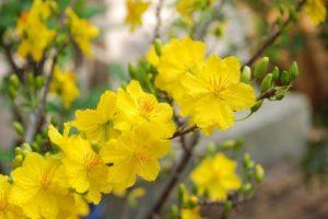 Kinh nghiệm chăm sóc hoa mai nở đúng tết