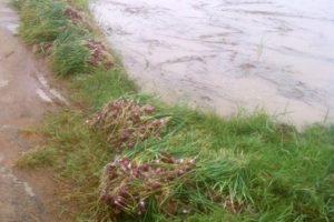 Hành tím trồng vụ sớm ở Vĩnh Châu (Sóc Trăng) bị ngập nước. Ảnh: Việt Tường.