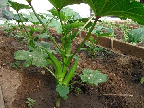 Cách trồng cây đậu bắp tại nhà