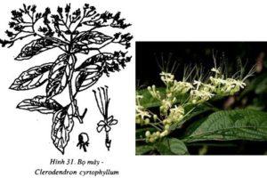 Công dụng của cây Bọ mẩy là gì?