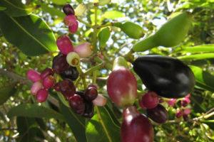 Cách trồng cây Vối tại nhà đơn giản