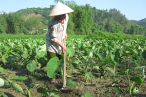 Cách trồng khoai môn cho hiệu quả kinh tế cao