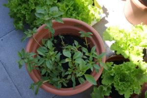 Cách trồng rau húng quế tại nhà chỉ trong 2 nốt nhạc