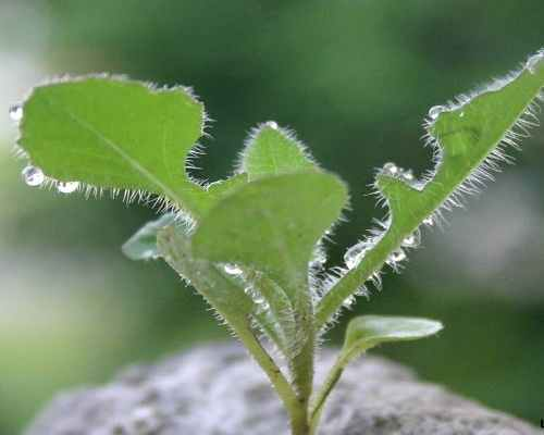 công dụng của cây cải trời