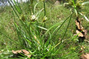 Cây cỏ cú chữa bệnh gì?