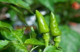 Bạn đã biết cách trồng cây ớt tại nhà sai trĩu quả này chưa?