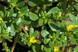 Công dụng chữa bệnh của cây rau sam