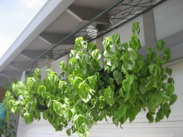 cách trồng cây lá cẩm