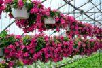 Cách trồng cây dừa cạn và bí quyết làm cho hoa nhiều màu