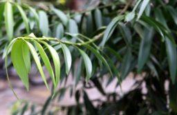 Lá của cây kim giao