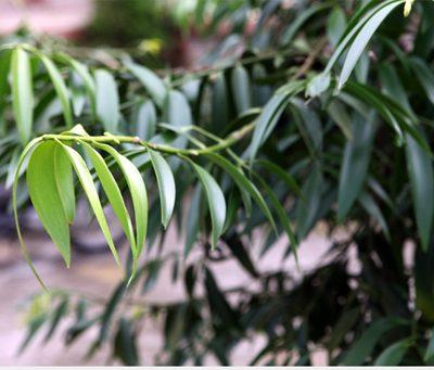 cách trồng cây kim giao