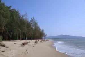 Cây Phi lao thích hợp trồng ơ đất ven biển