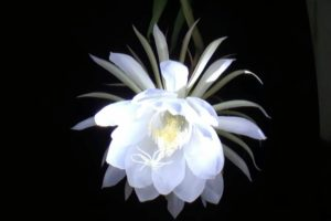 Nết đẹp của hoa Quỳnh giao