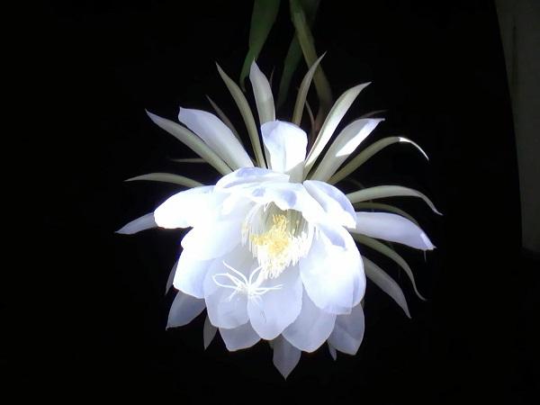 cách trồng hoa quỳnh giao
