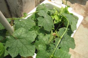 Cách trồng mướp trong thùng xốp