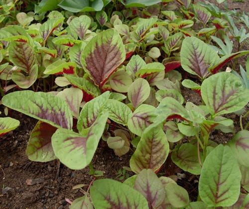 cách trồng rau dền gai tại nhà