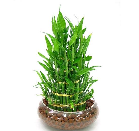 cách trồng cây phất dụ