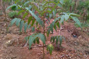 Đất trồng cây xoang đào phải thoáng, không bị úng nước