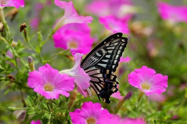 cách trồng hoa dạ yến thảo