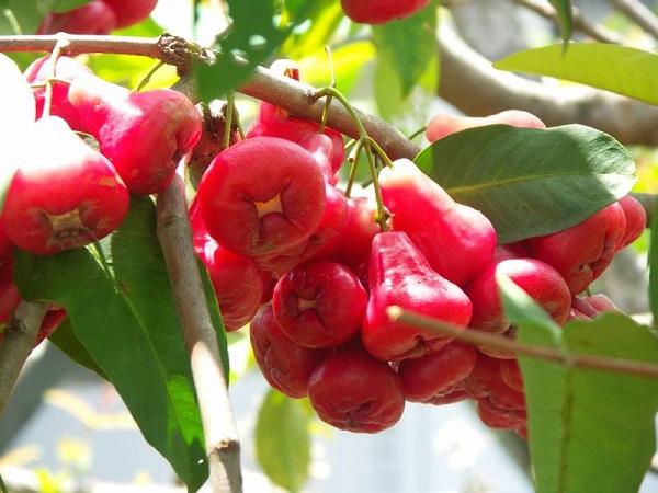 cách trồng cây roi đỏ