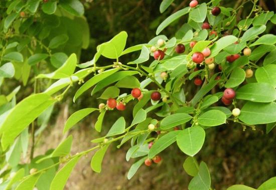 cách trồng cây xạ đen