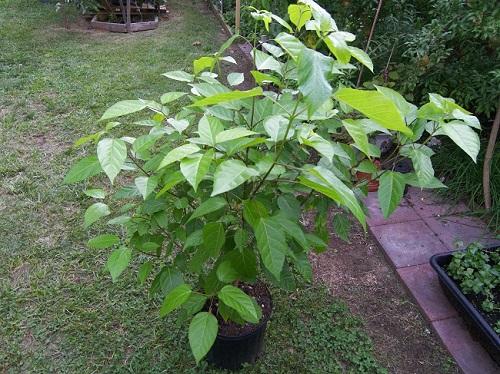 cách trồng cây lá cách