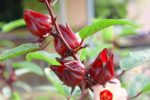 Công dụng của cây Atiso đỏ là gì? Có thể bạn chưa biết!