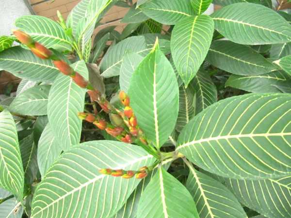 Công dụng của cây khôi tía