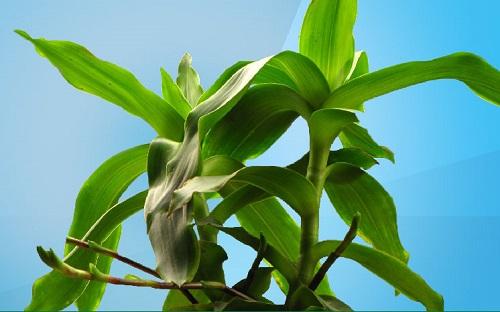 Cách trồng cây lược vàng