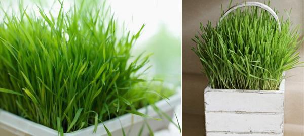 cách trồng cây xả