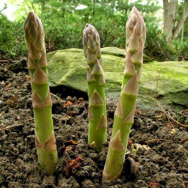 cách trồng cây măng tây