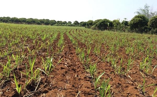 Ruộng mía đã được trồng dặm