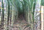Kinh nghiệm trồng cây mía đường công nghiệp