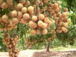 Kinh nghiệm trồng cây nhãn cho năng xuất cao