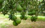 Kỹ thuật trồng cây bưởi da xanh cho cây nhanh ra quả