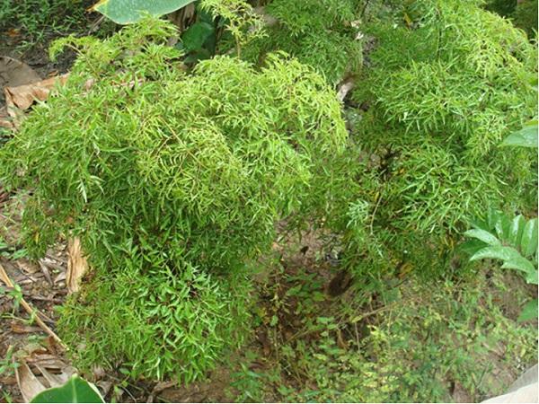 cây đinh lăng chữa bệnh mất ngủ
