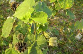 Cây cối xay chữa bệnh sỏi thận hiệu quả trong giai đoạn đầu