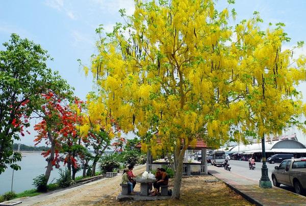 công dụng của cây Osaka