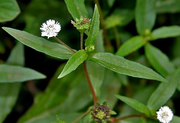 cây cỏ mực chữa rong kinh