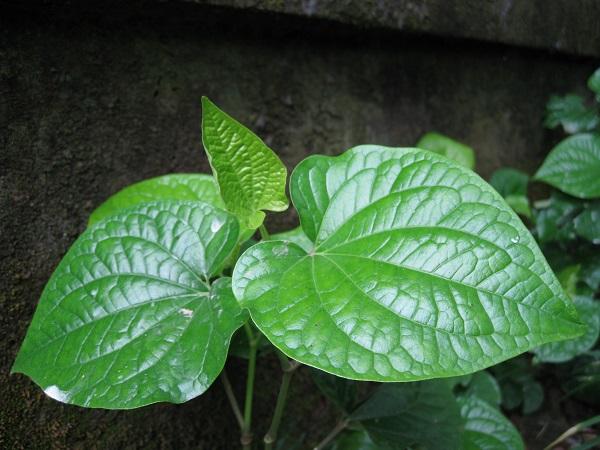 cây lá lốt chữa bệnh khớp