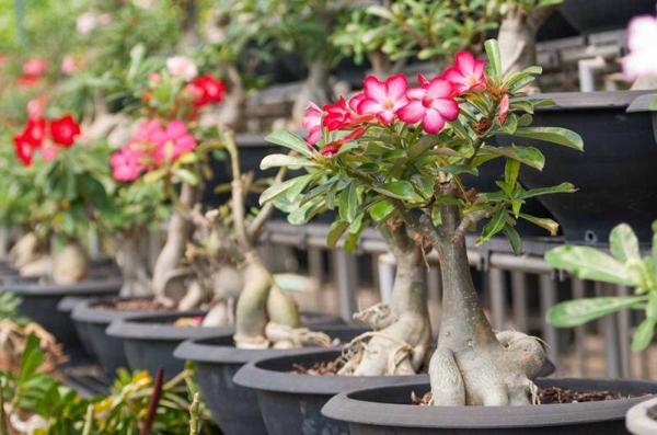 Cách trồng cây sứ