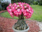 Cách trồng cây sứ trong chậu và mẹo giúp hoa ra đúng ngày tết