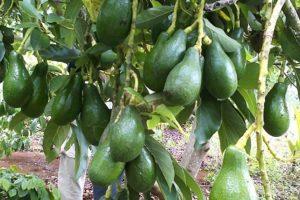 Cách trồng và chăm sóc cây bơ thu hoạch đúng thời vụ