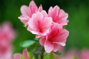 Cách trồng và chăm sóc hoa Đỗ Quyên ngày tết. Ý nghĩa của hoa Đỗ Quyên
