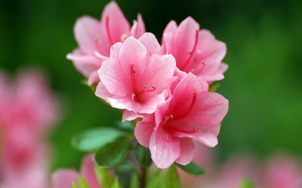 cách trồng hoa Đỗ Quyên