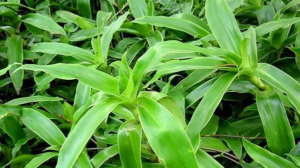 Cây lược vàng chữa viêm họng