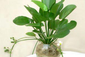 Cách trồng cây bách thủy tiên đơn giản nhất